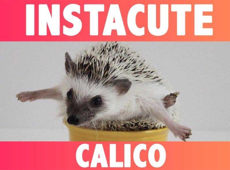 INSTACUTE : Oatmeal et Calico : Le couple de hérissons stars d'Instagram !